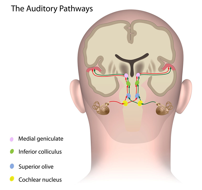 The-Auditory-Pathways